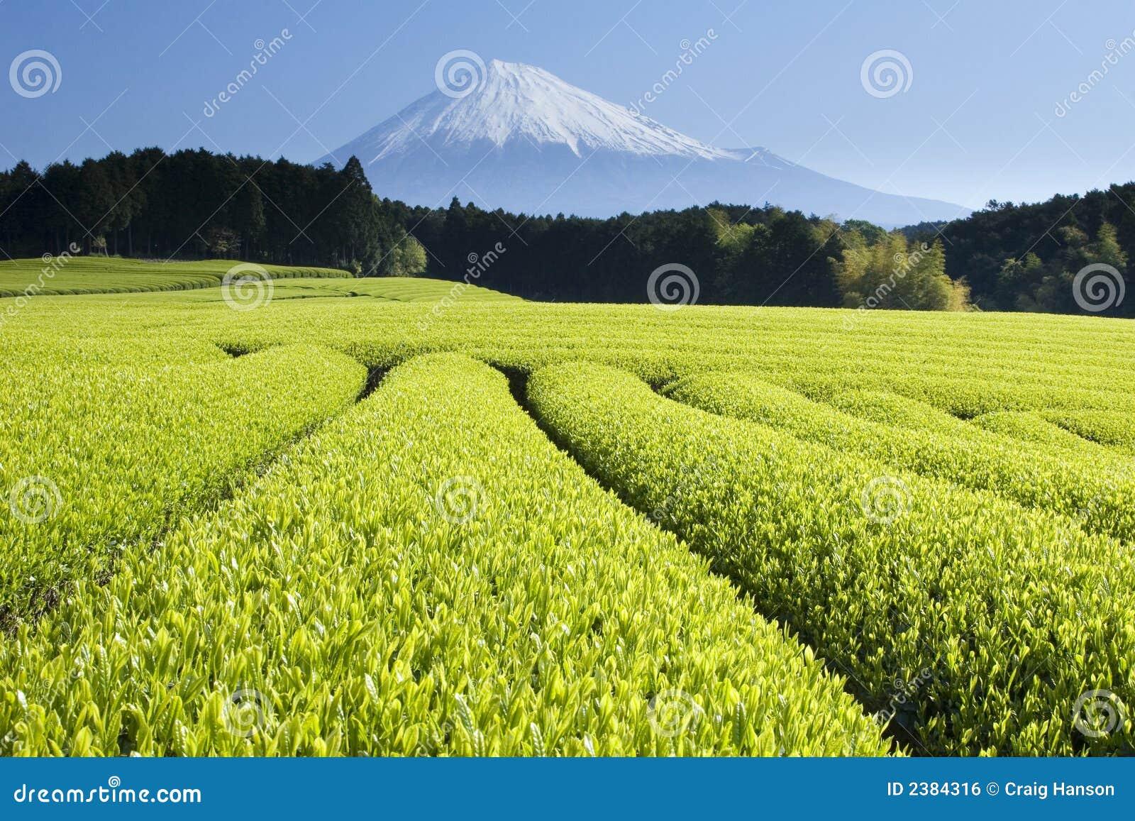 Green Tea Fields V Royalty Free Stock Image Image 2384316