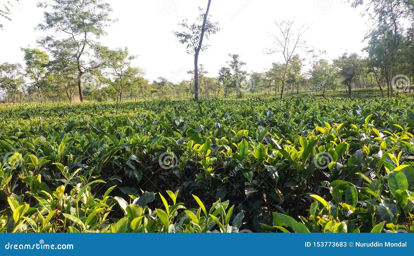 Green Tea Garden and Some Trees