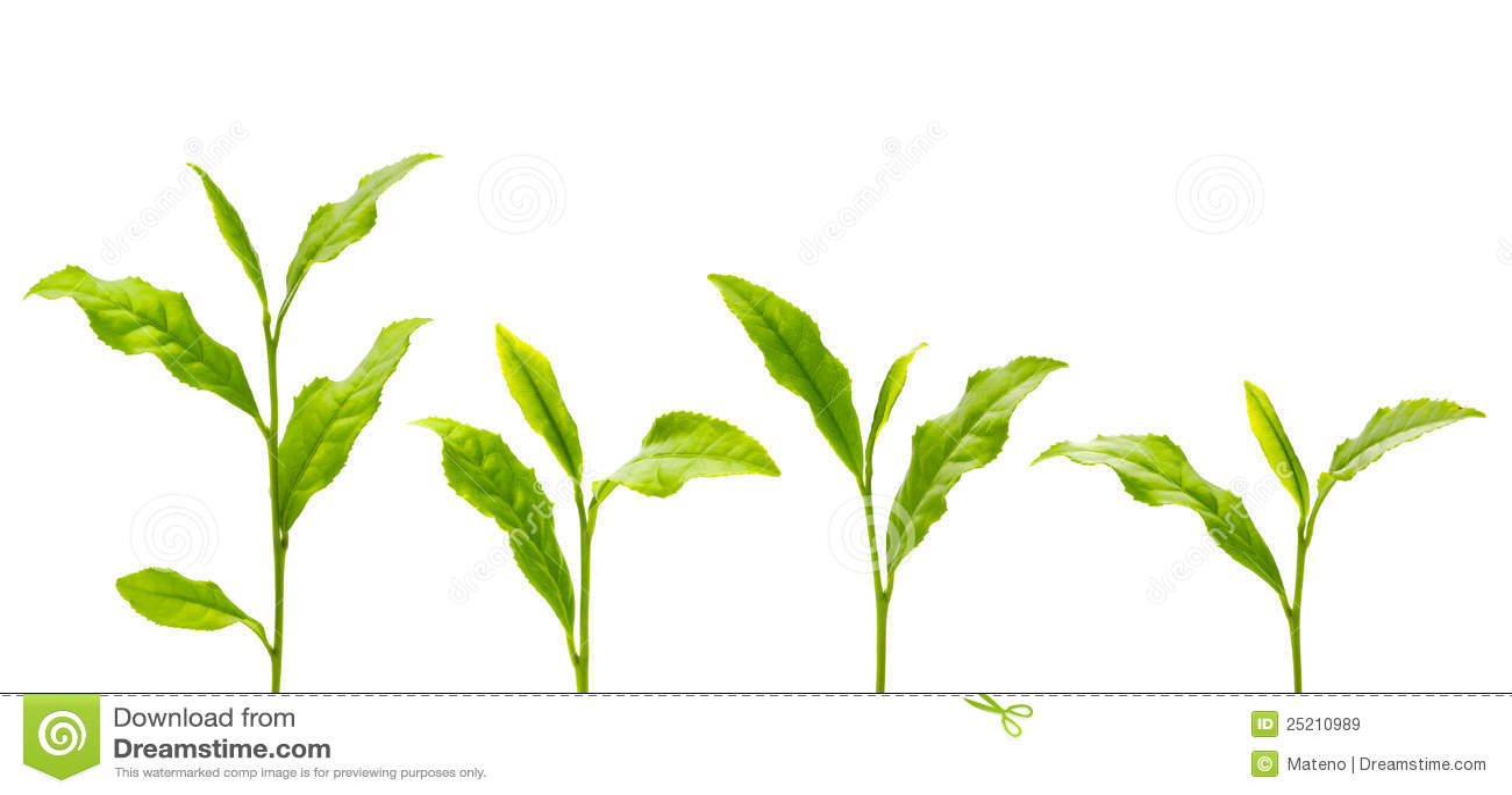 Green Tea Leaf Royalty Free Stock Images - Image: 25210989