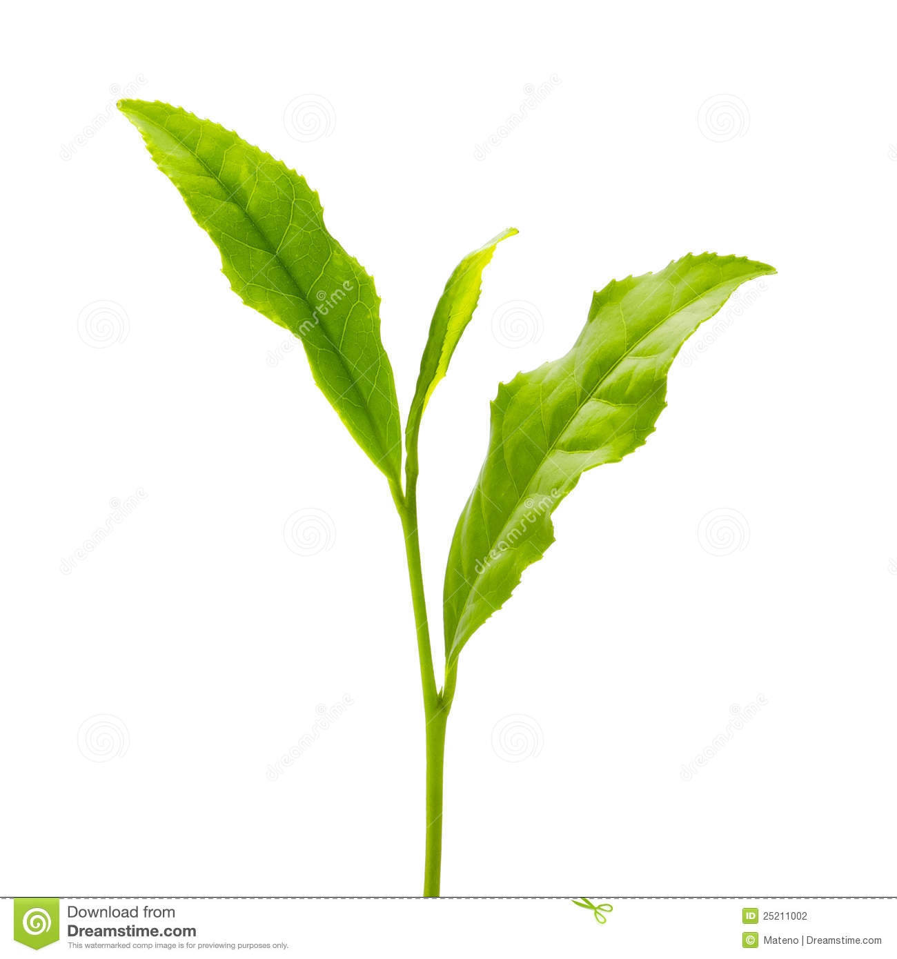 Green Tea Leaf Stock Photography - Image: 25211002