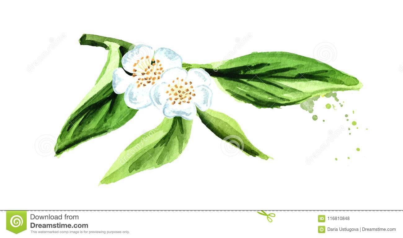 Green Tea Leaves With Flowers Watercolor Hand Drawn Illustration Isolated On White Background Stock Illustration Illustration Of Flowers Natural 116810848