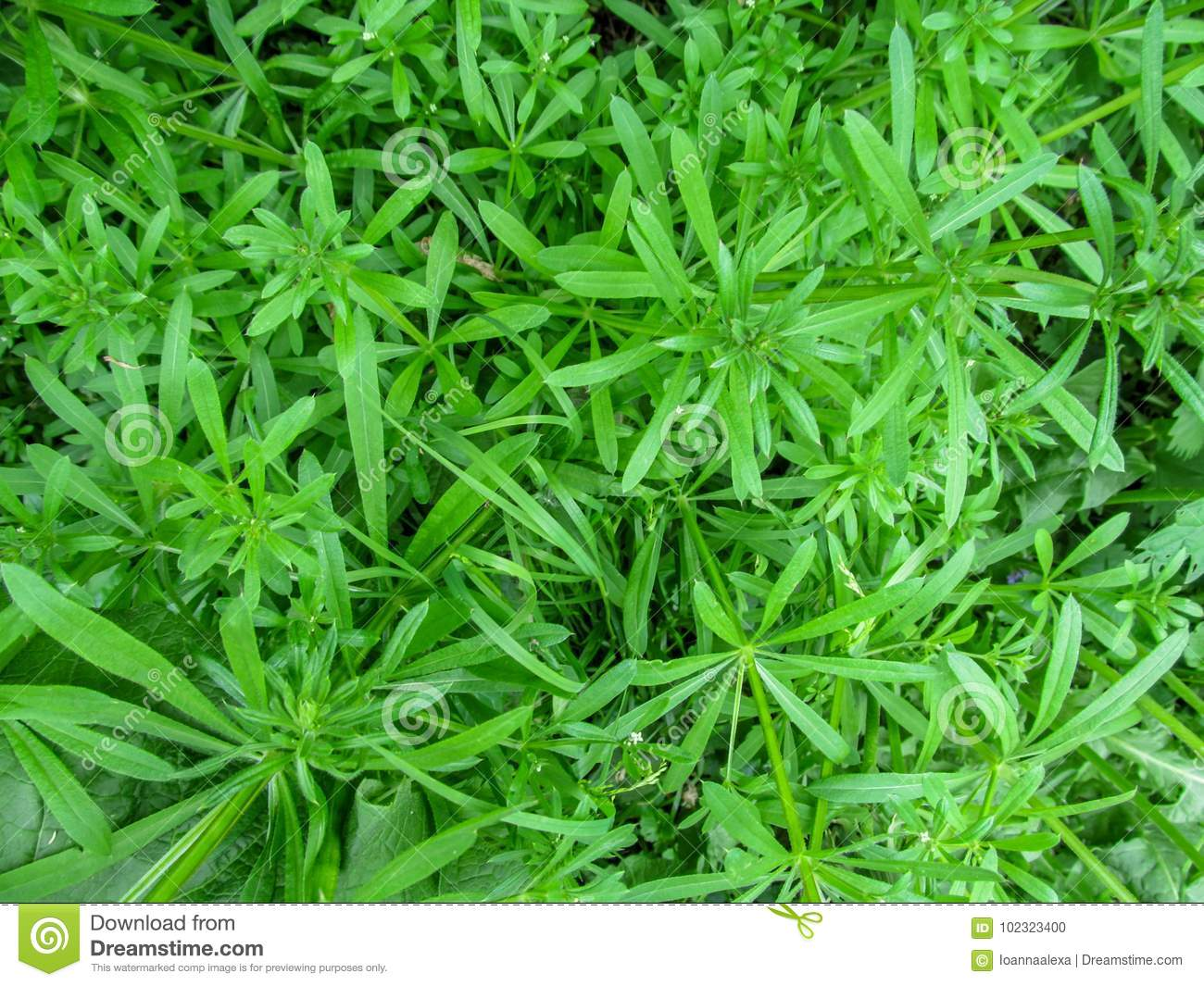 Green Floral Background Of The Galium Aparine Top View Stock Photo
