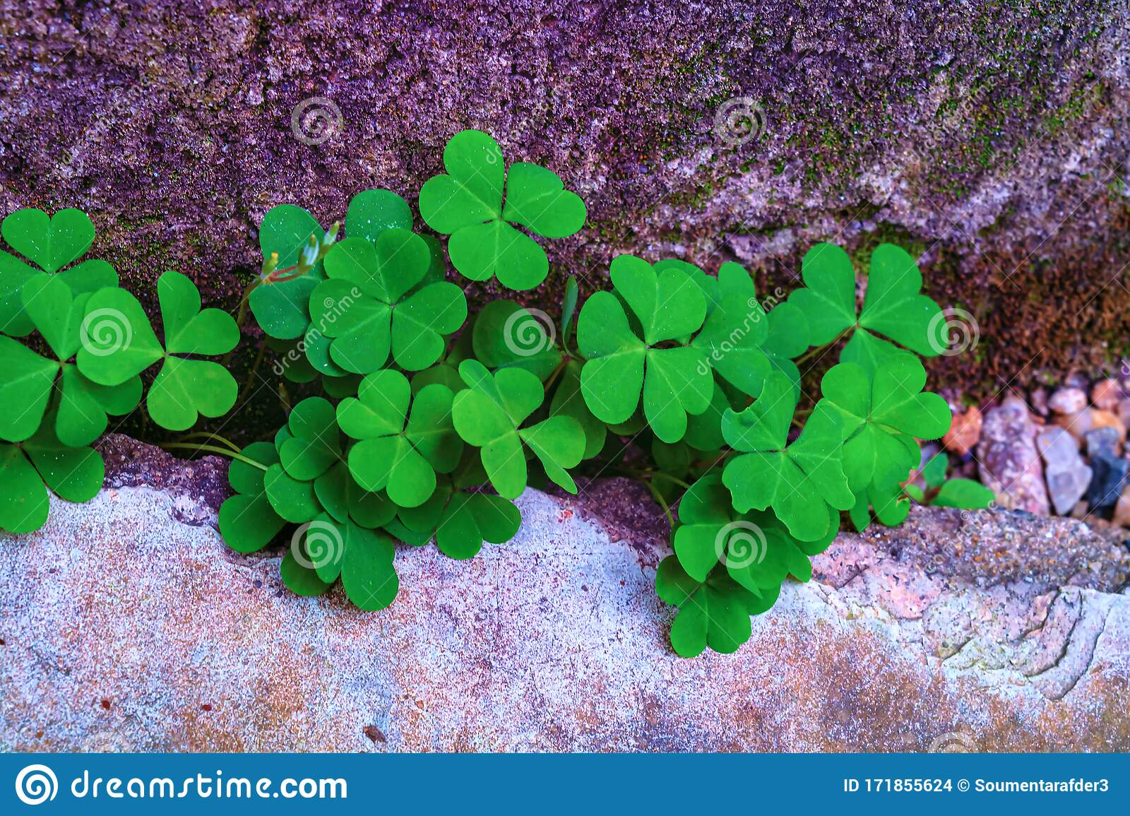 Green Three Leaves Clover Background Stock Photo Image Of