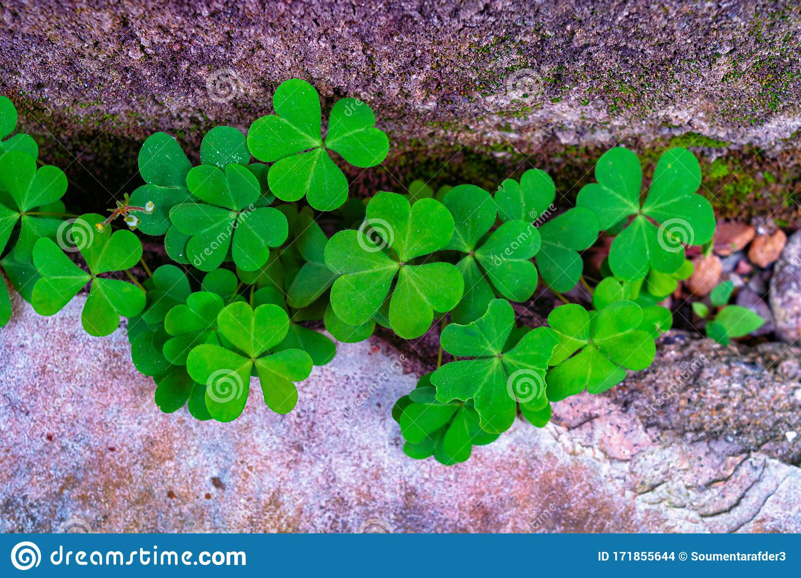 Green Three Leaves Clover Background Stock Photo Image Of Flower