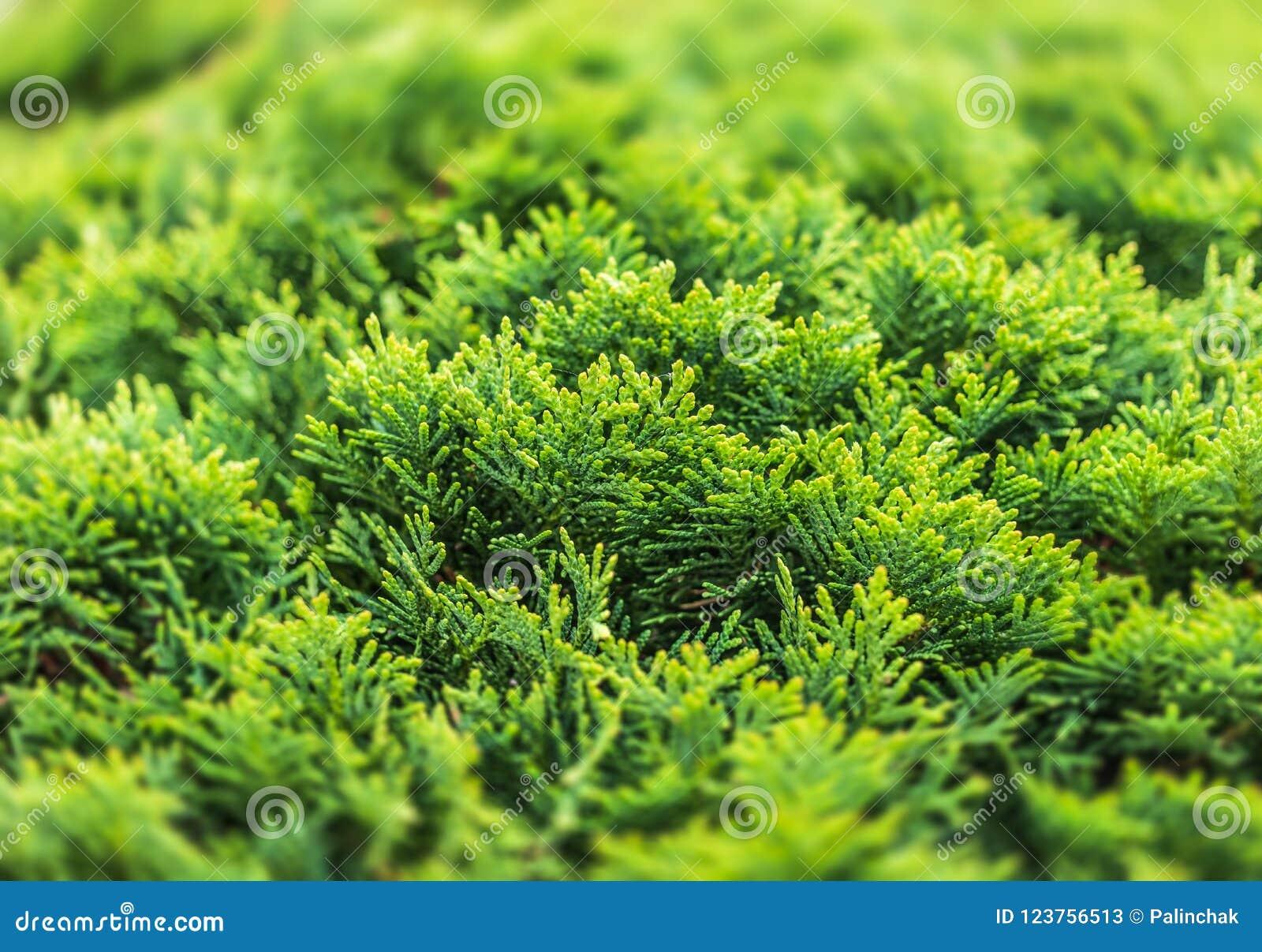 Green thuja bush