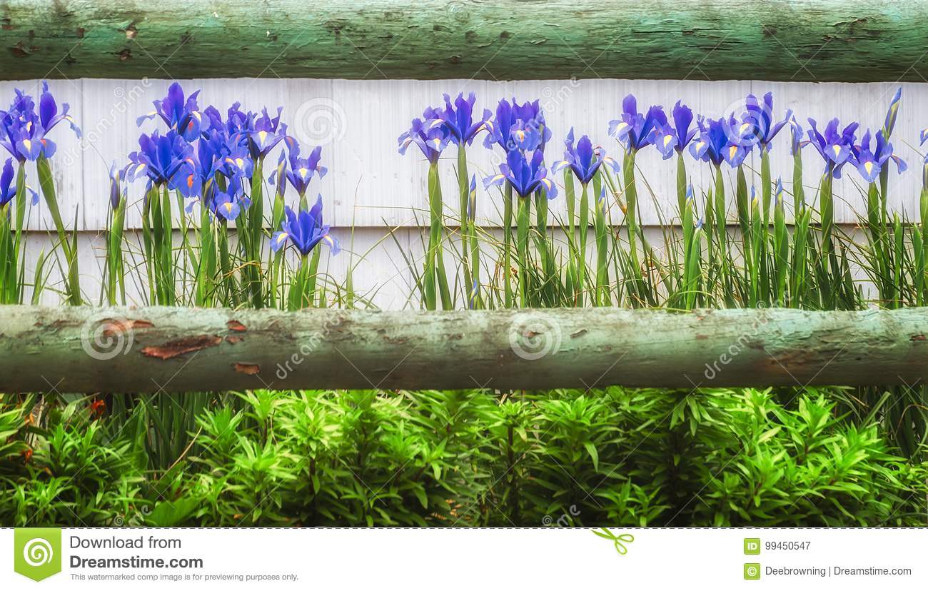 Blue Irises and a wooden fence