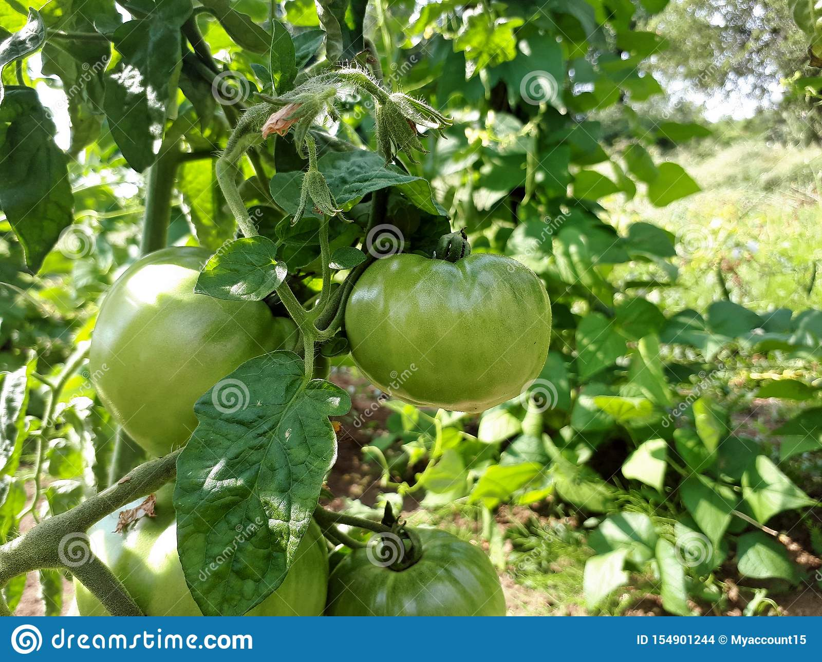 Green Tomatoes On Branch Growing Tomatoes In Garden Agriculture