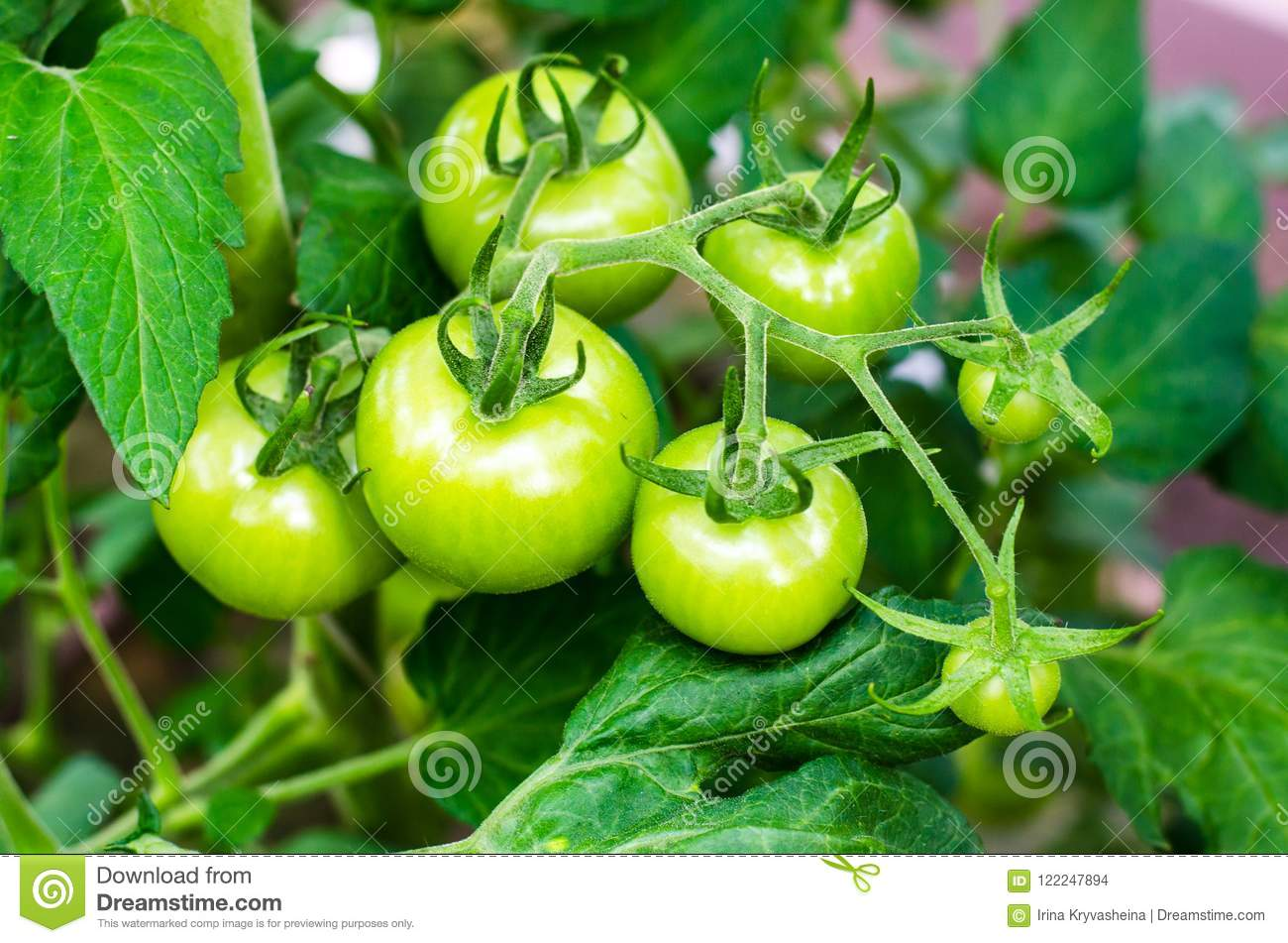 Green tomatoes on bush