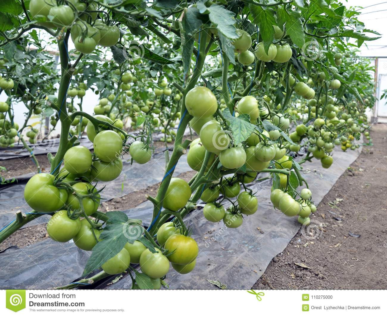 Green Tomatoes On The Bushes In A Polycarbonate Greenhouse Stock Photo