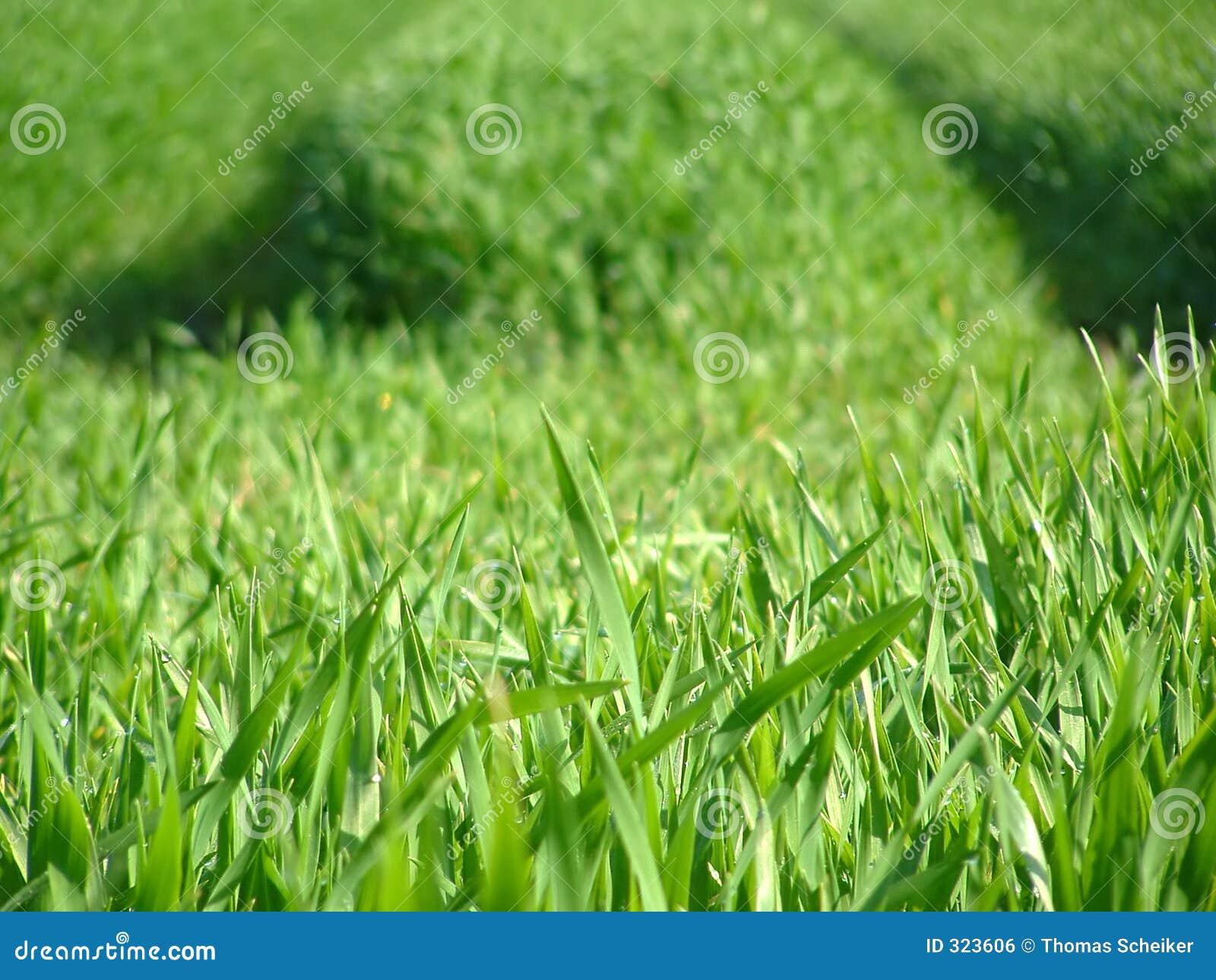 Green trawy
