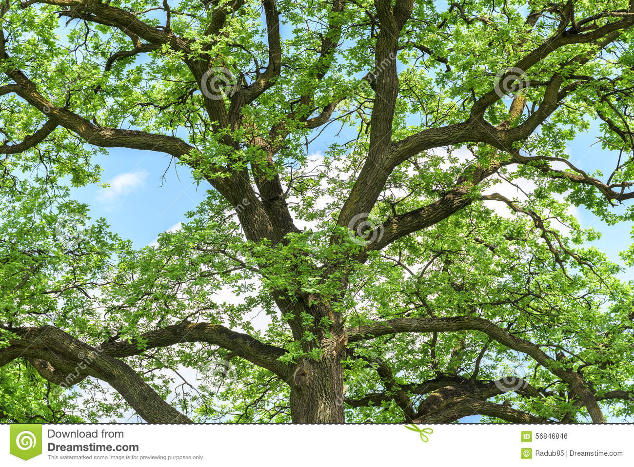 Oak Wood Branches ~ Green tree branches in forest stock photo image