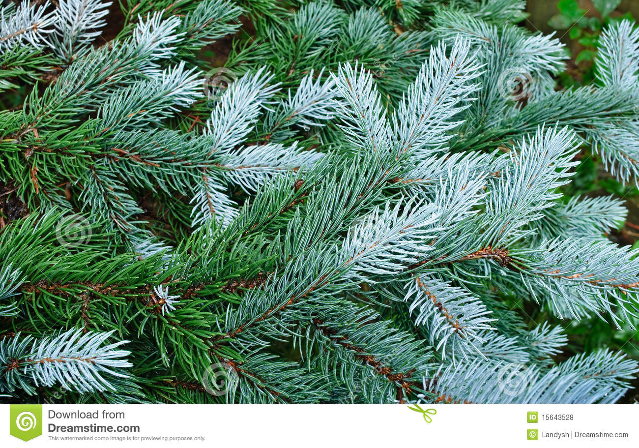 Green Tree, Fir Tree, Evergreen Branches Stock Photo ... Evergreen Branch