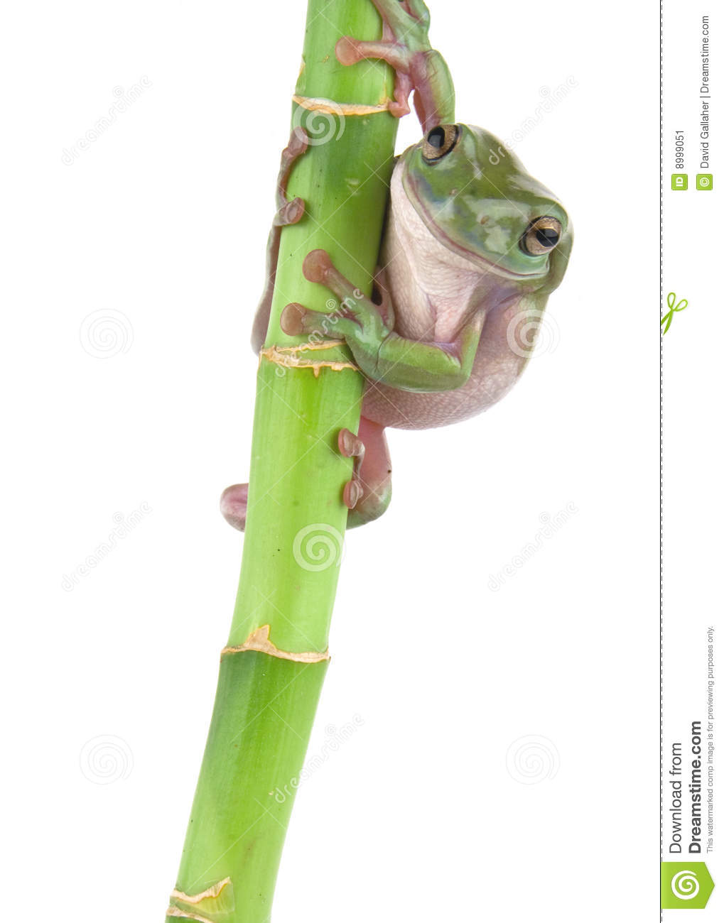 Green tree frog climbing stock image. Image of isolated ...