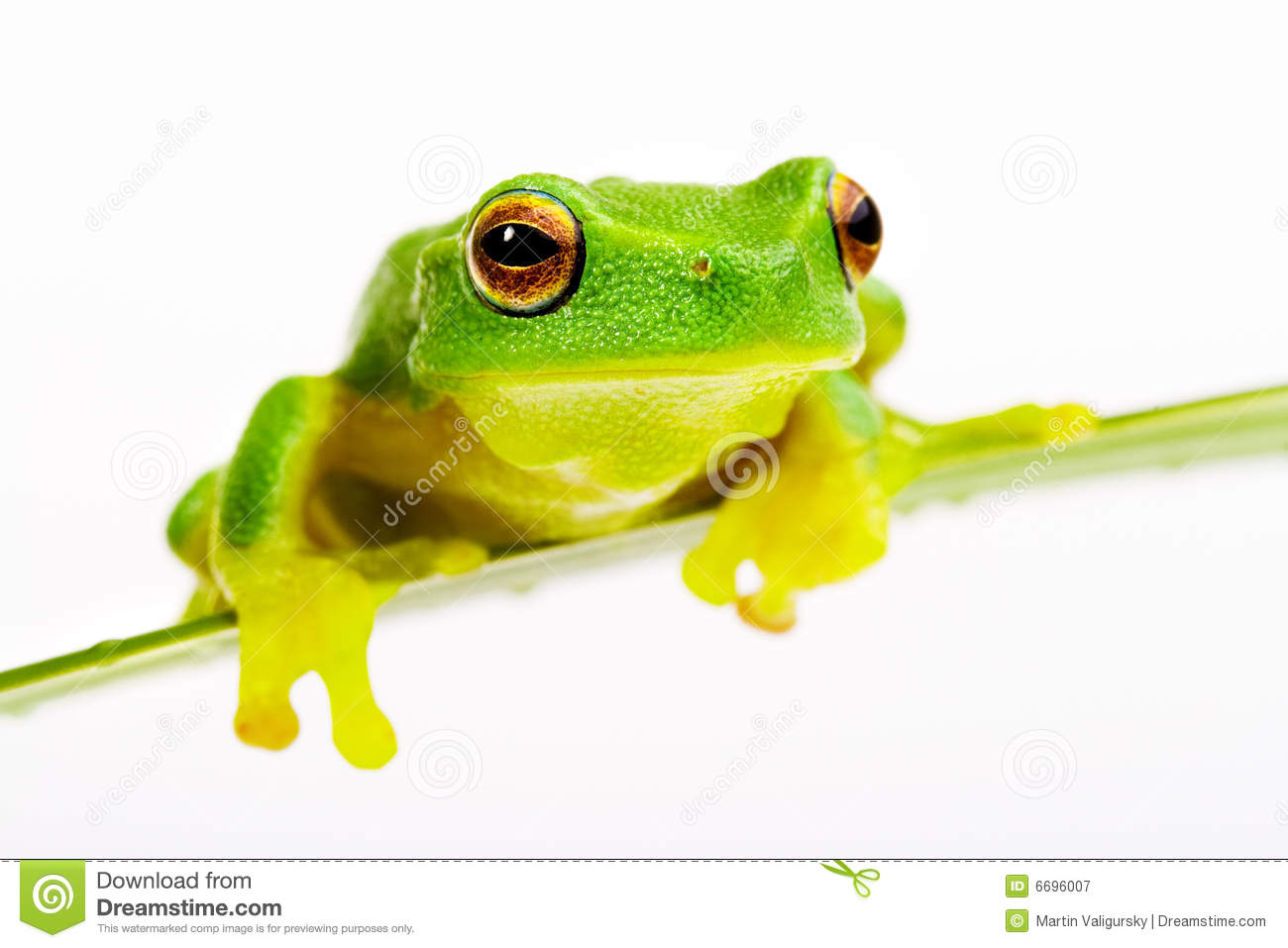 green tree frog sitting on grass blade royalty free stock