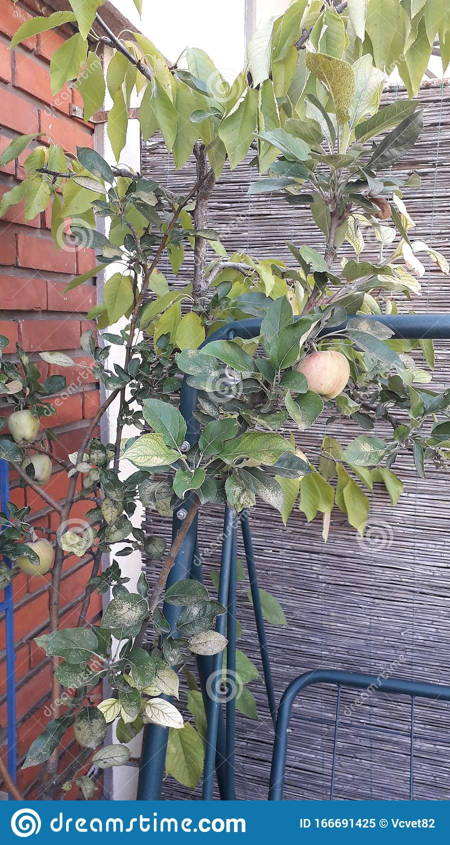 Green Tree With Fruit Apple Tree In The Pot On The City Terrace Urban Gardening Stock Image Image Of Organic Urban 166691425
