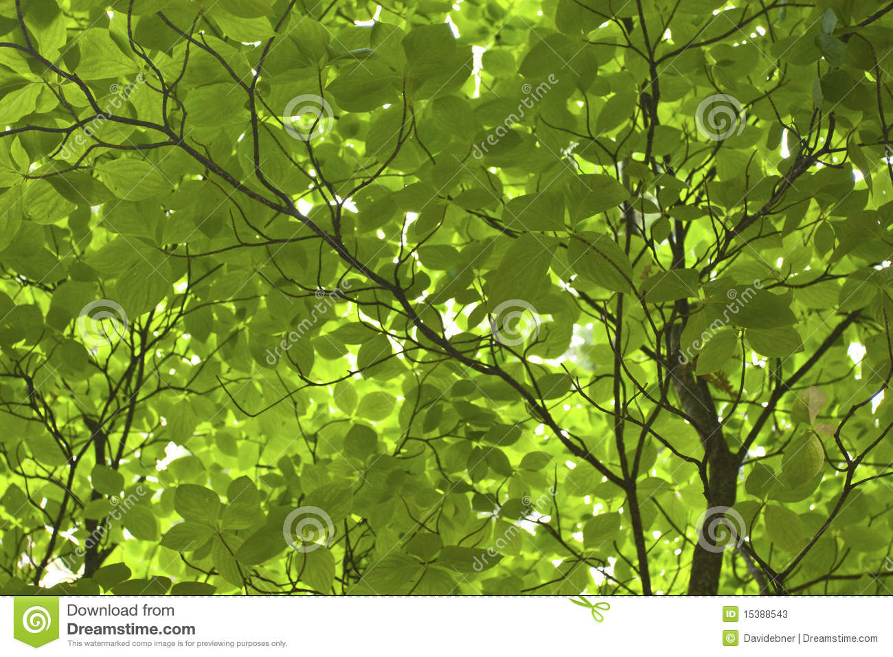 Green Tree Leaves Close Up Stock Photos - Image: 15388543