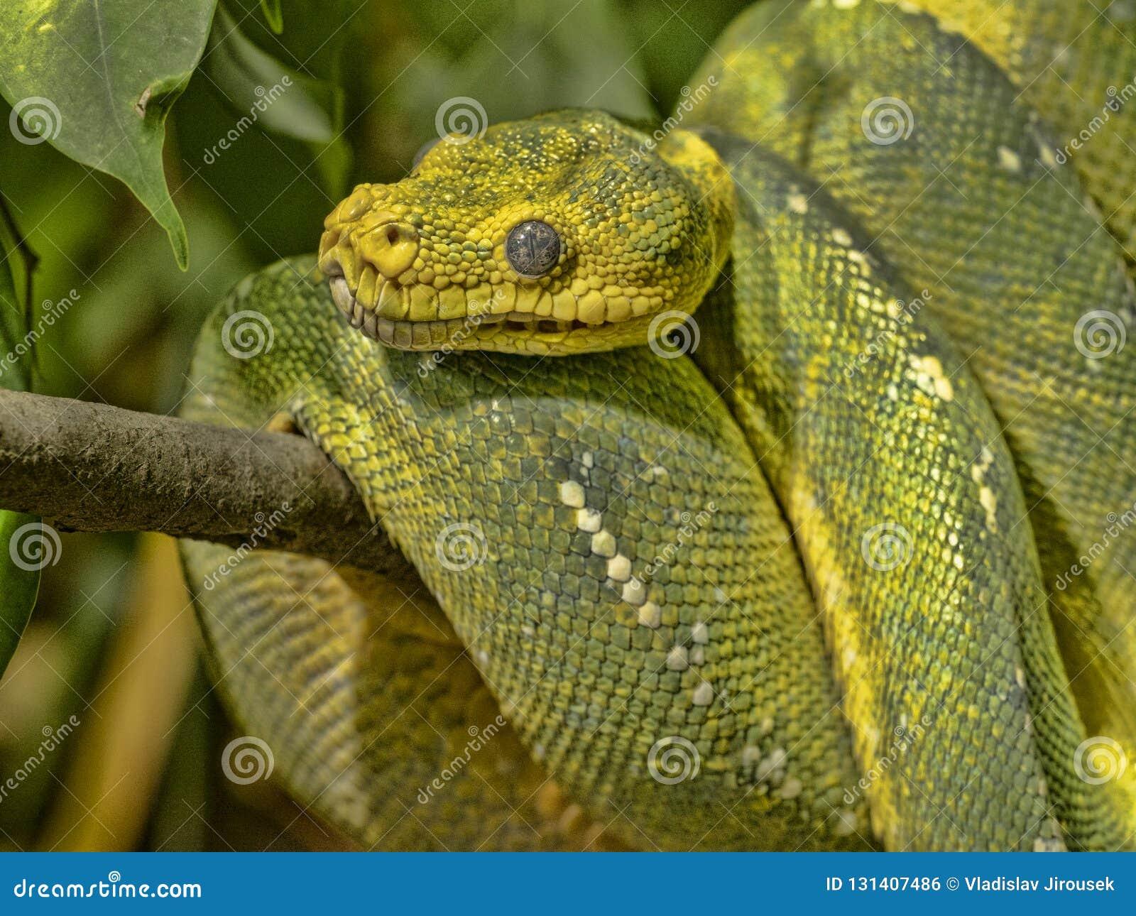 Green Tree Python, Chondropython Viridis In A Typical