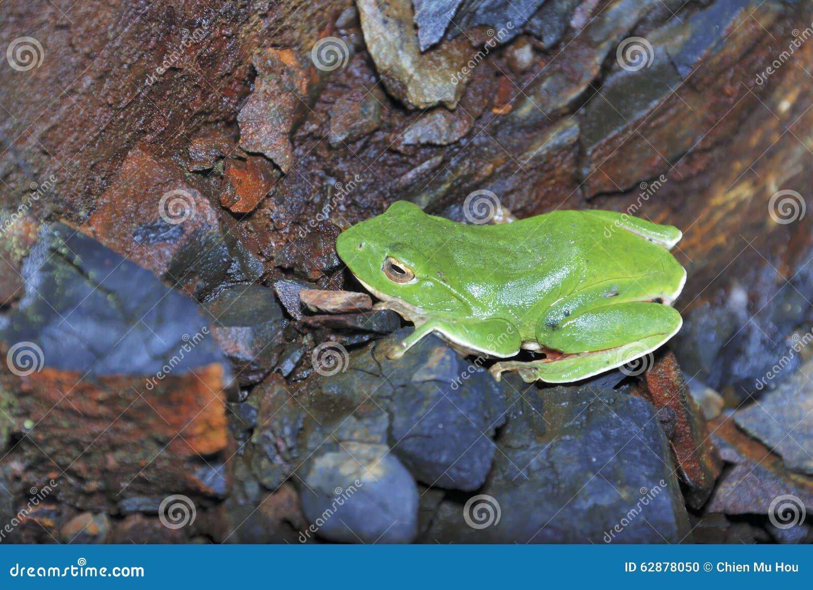Green Treefrog is Taiwan s endemic species