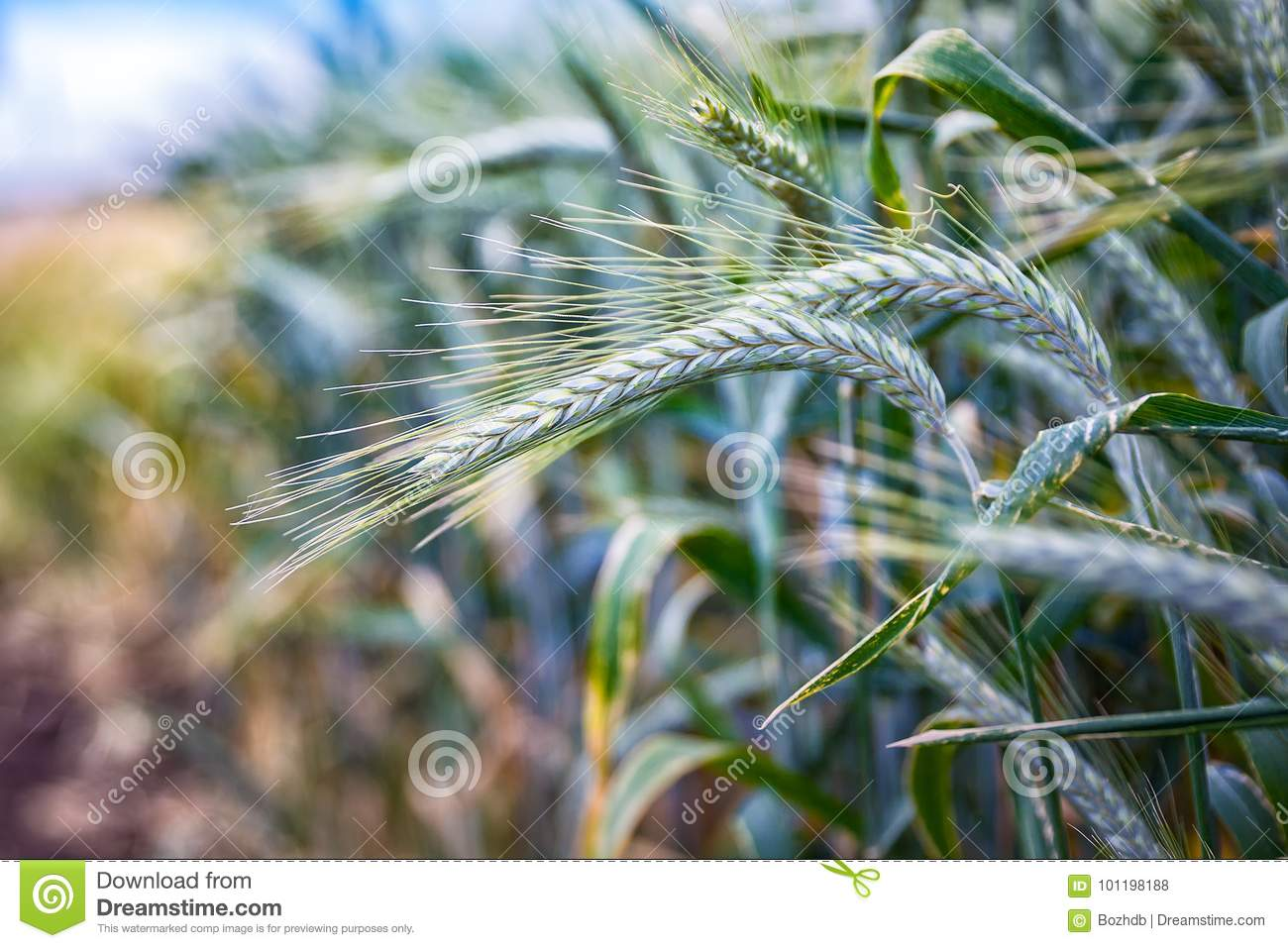 green triticale wheat ears stock photo image of forage head