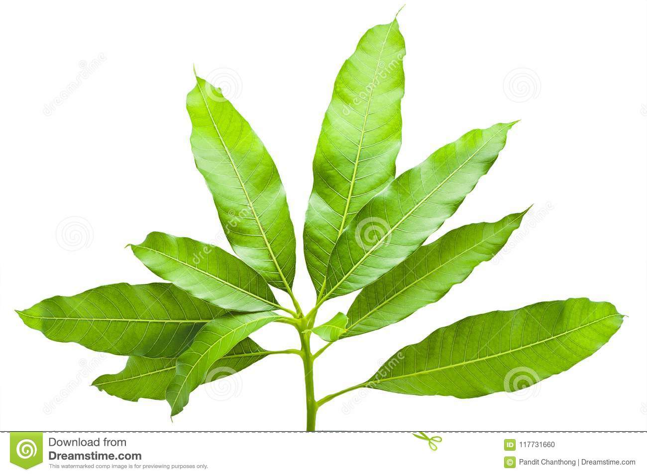 Mango Tree Leaves Pictures