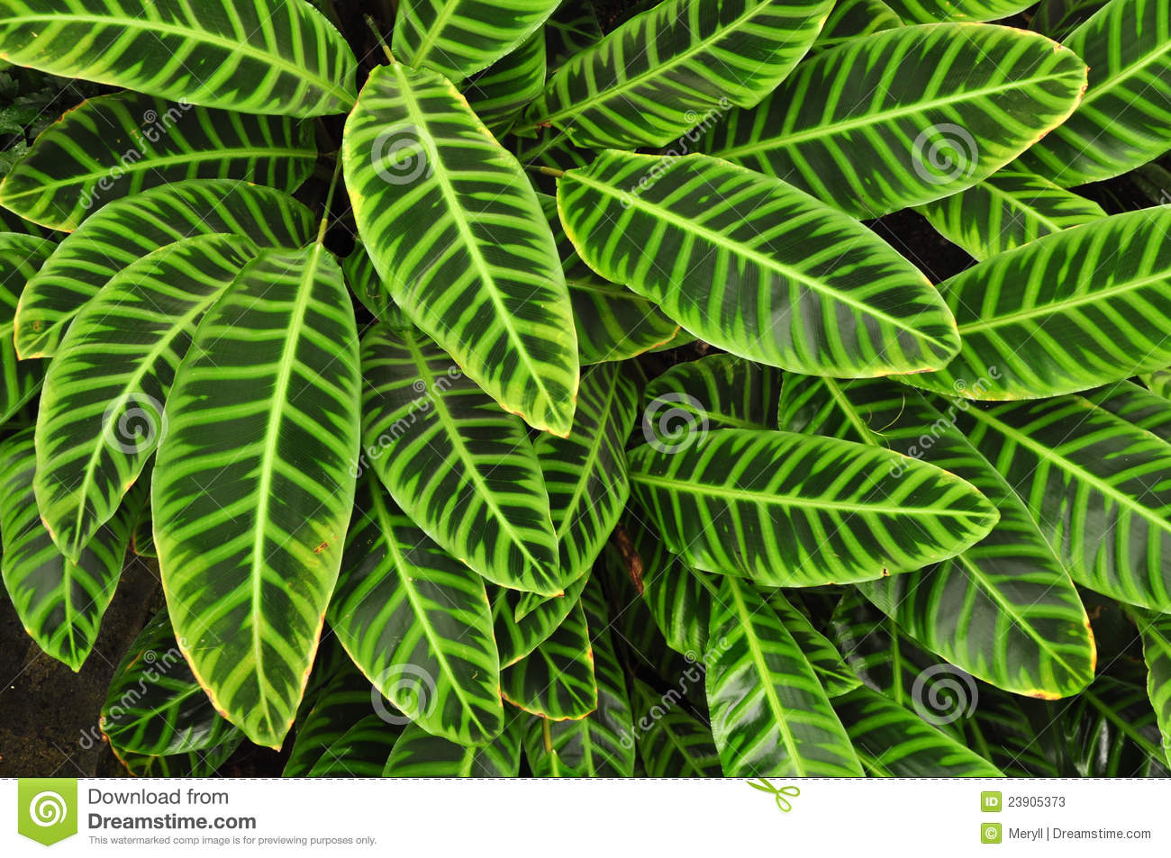 Green tropical leaves background stock image image of green flora 23905373 - Leafy houseplants ...