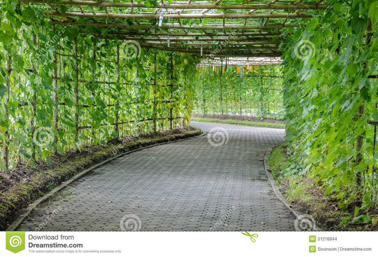 Green Tunnel Of Angled Luffa Plant Stock Photo Image Of