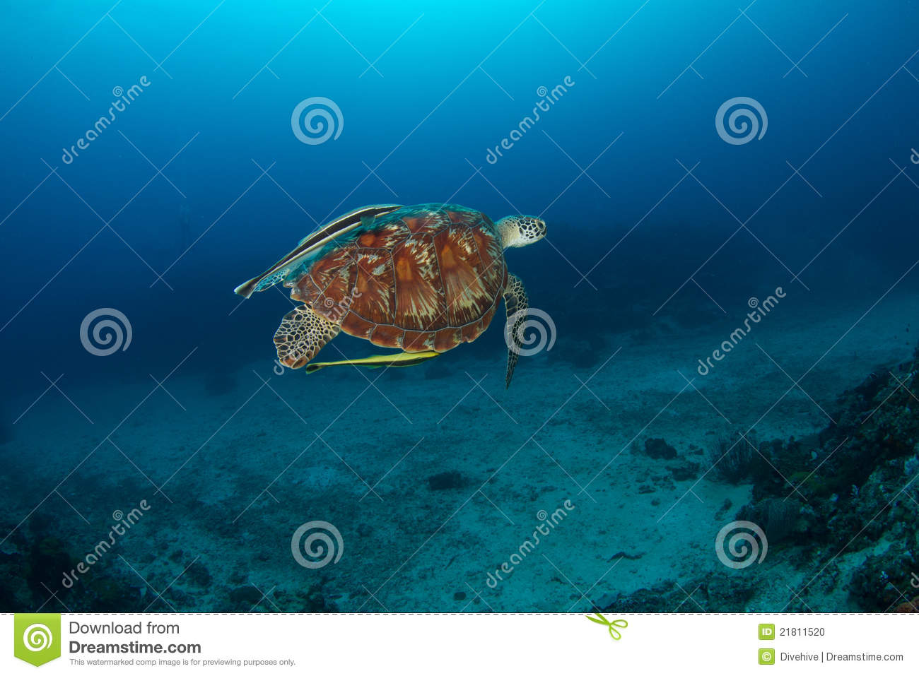 Green turtle (Chelonia mydas) with remora