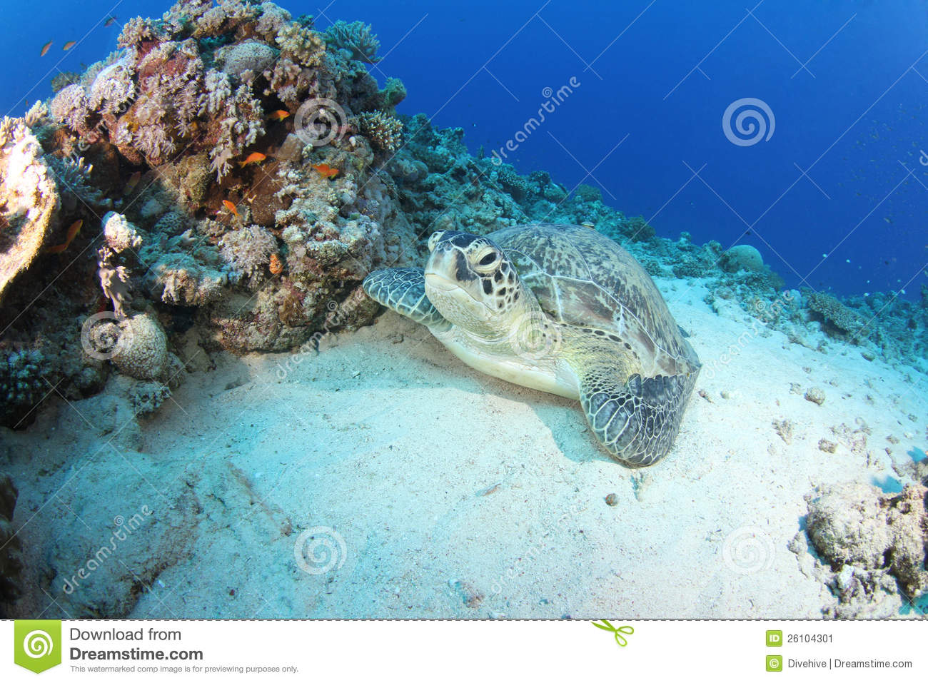 Green turtle (chelonia mydas) resting in reef