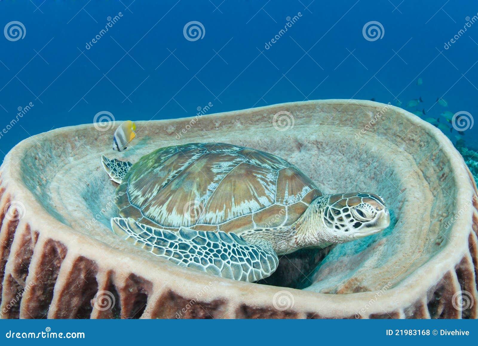 Green turtle (chelonia mydas) resting in songe