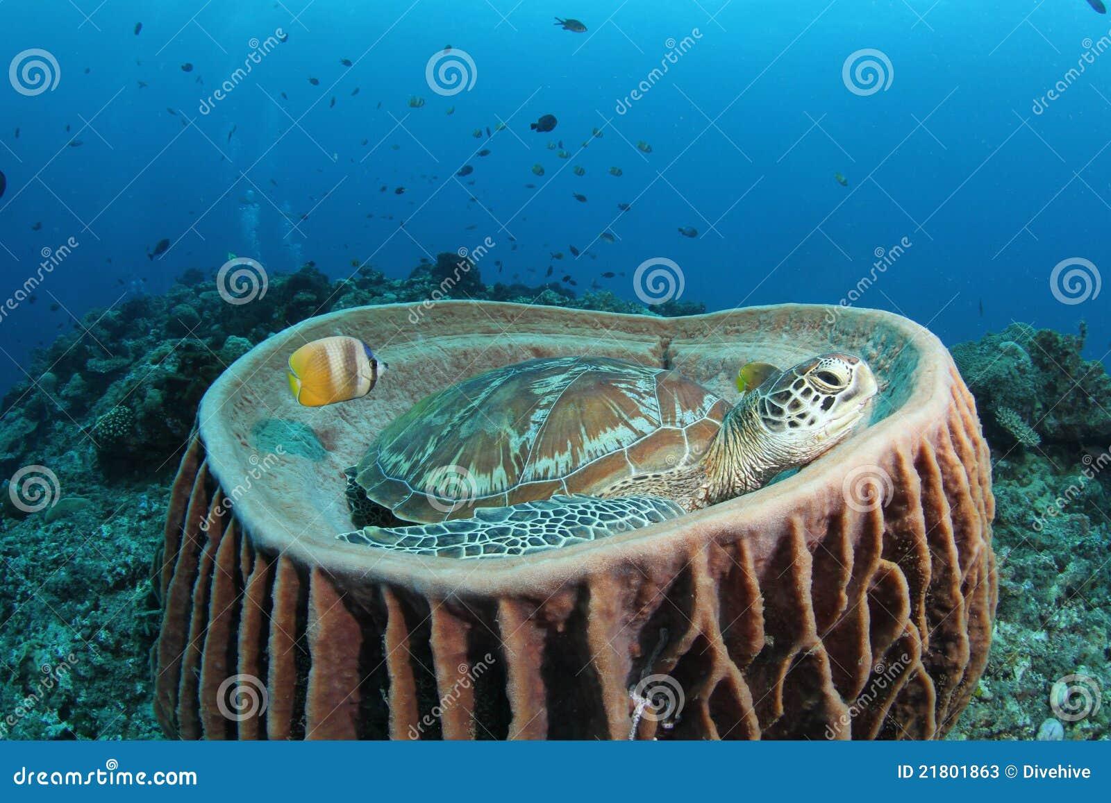 Green turtle sitting in barrel sponge