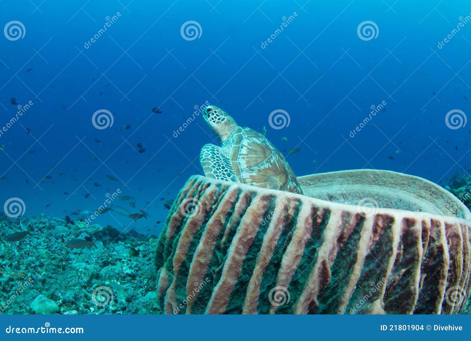 Green turtle sitting in a barrel sponge