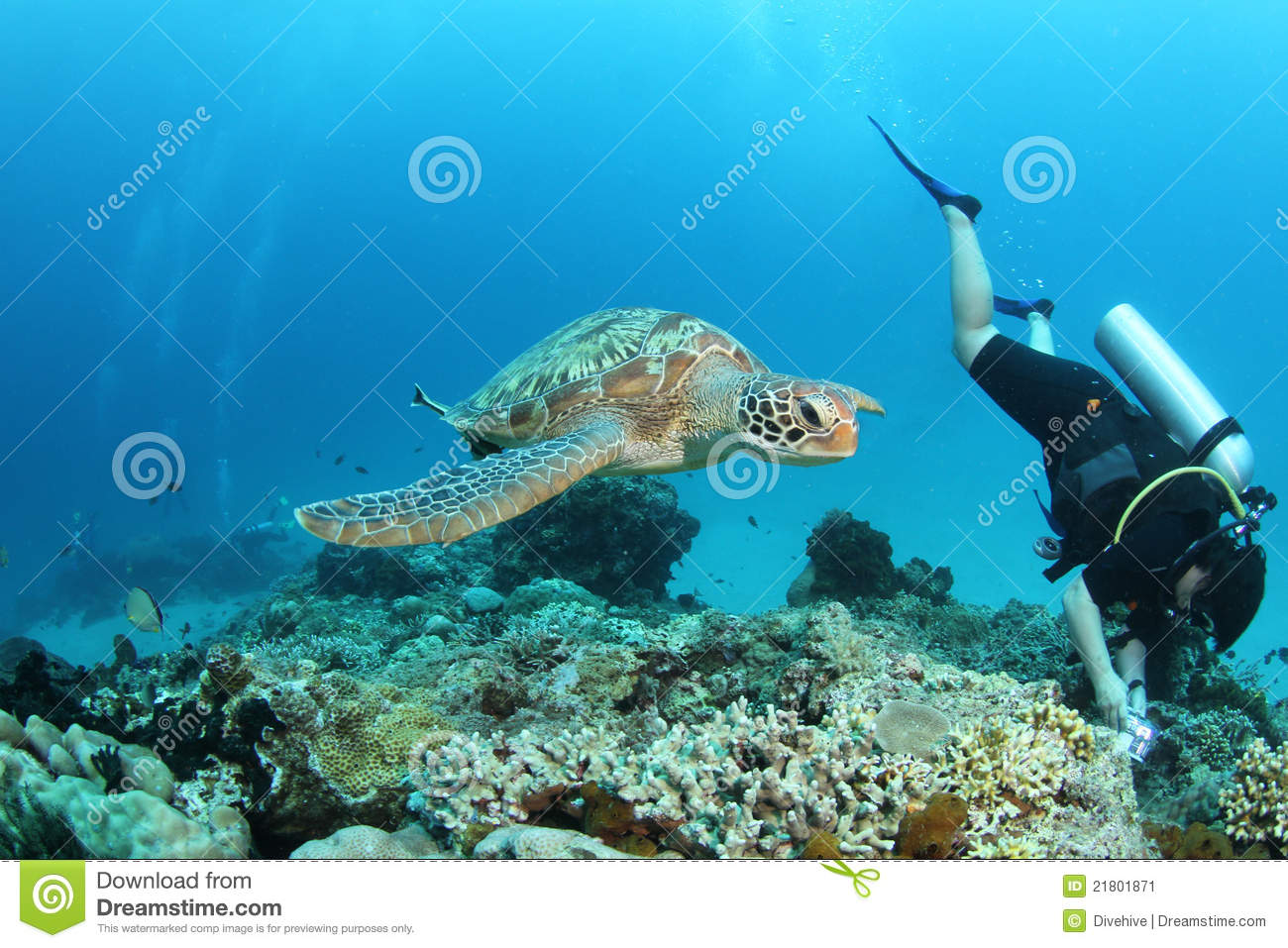 Green turtle swimming next to a diver