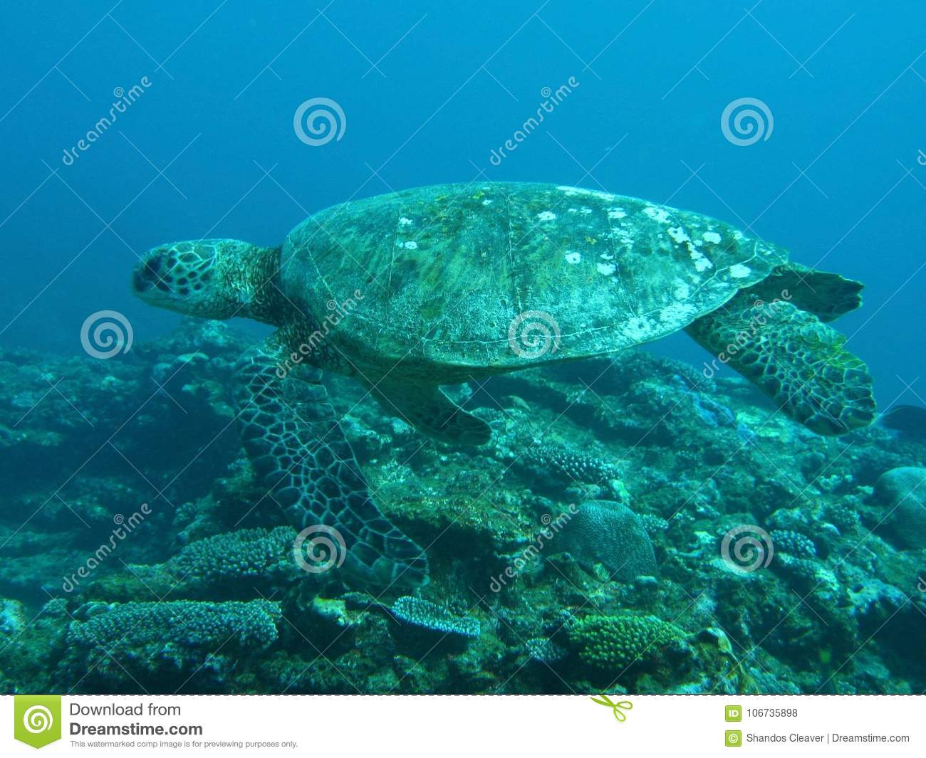 Green turtle swimming over coral reef
