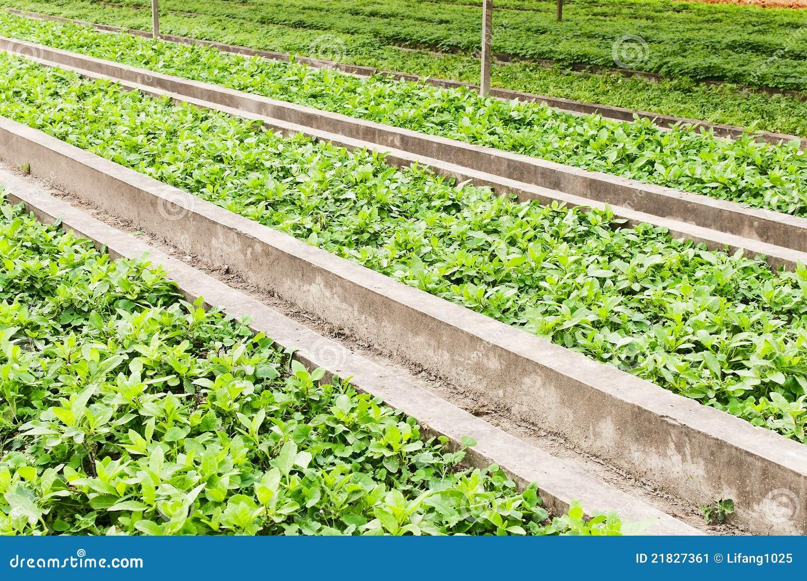 Green vegetables garden stock image image of farming for Great vegetable gardens