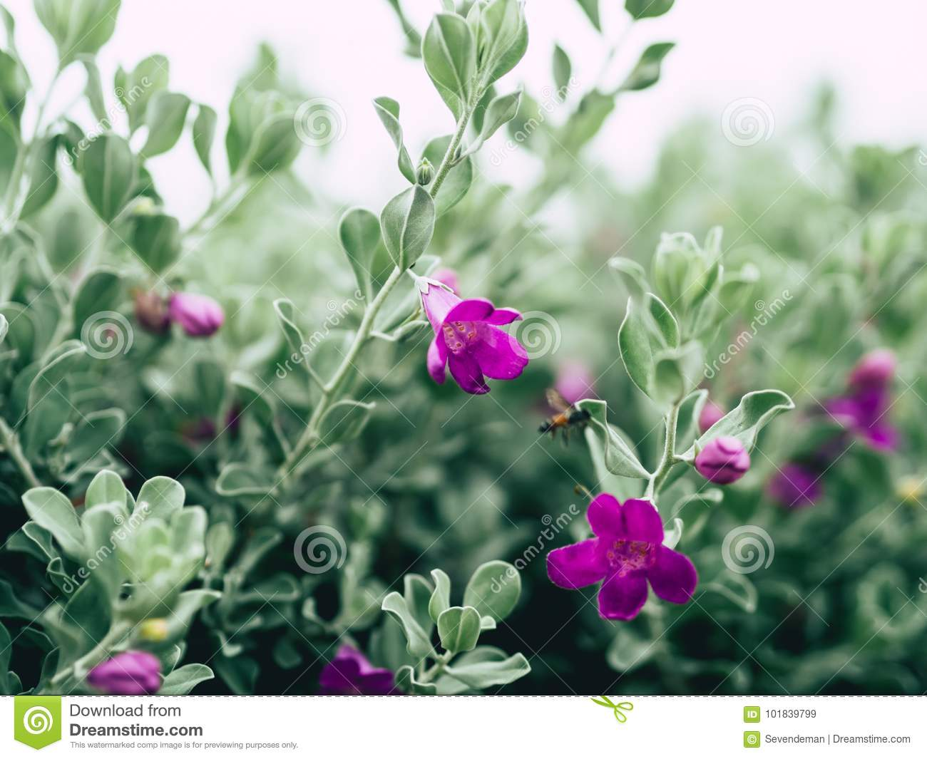 Green Velvet Bush With Small Purple Flowers Stock Image Image Of