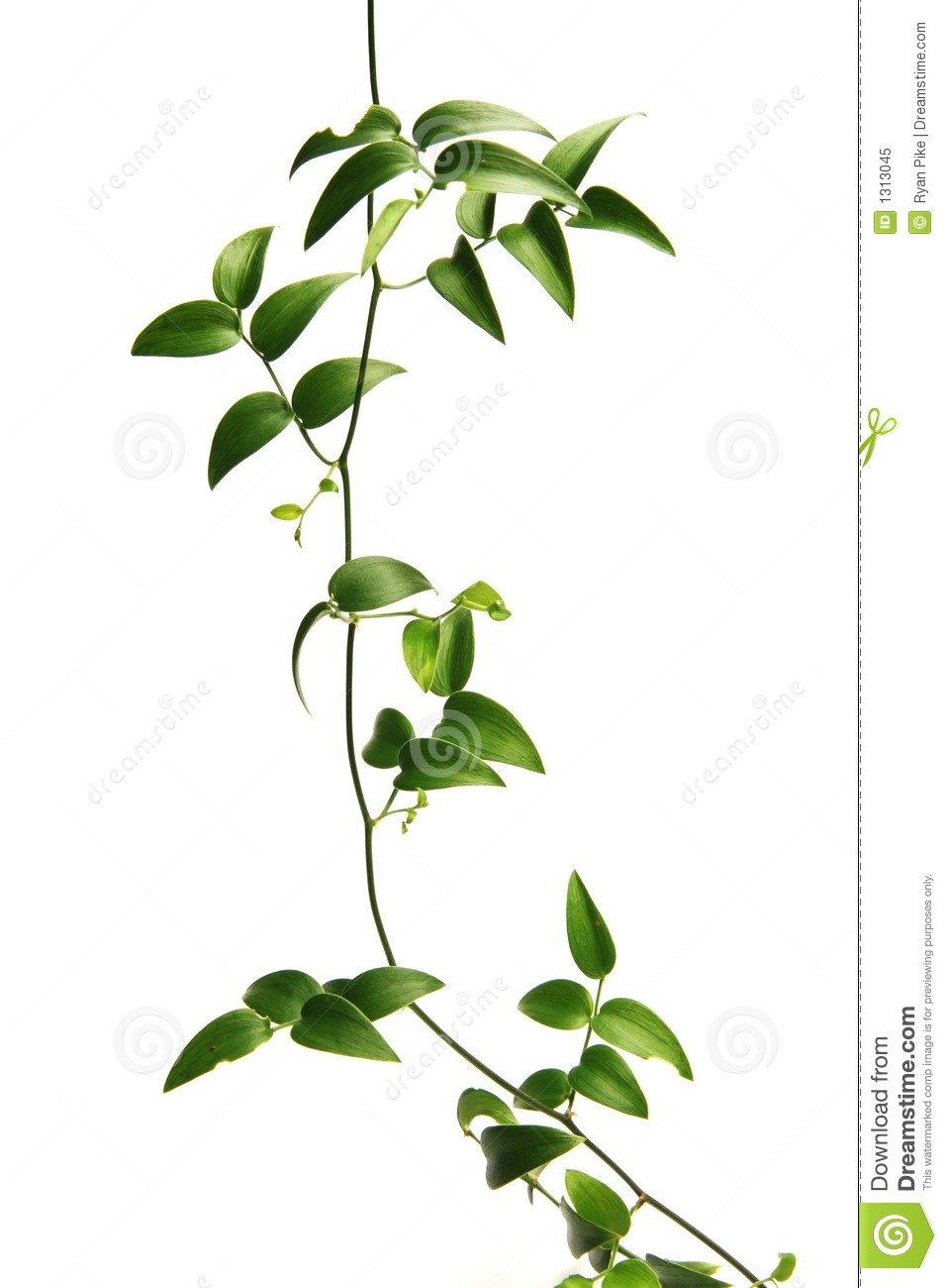 Green vine stock image. Image of foliage, life, pattern ...