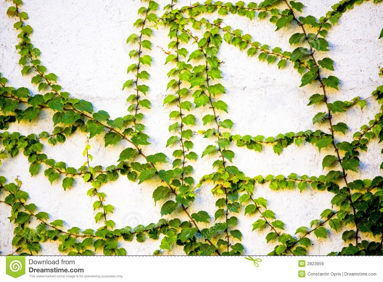 ... of a number of green leafy vines growing on a white concrete wall
