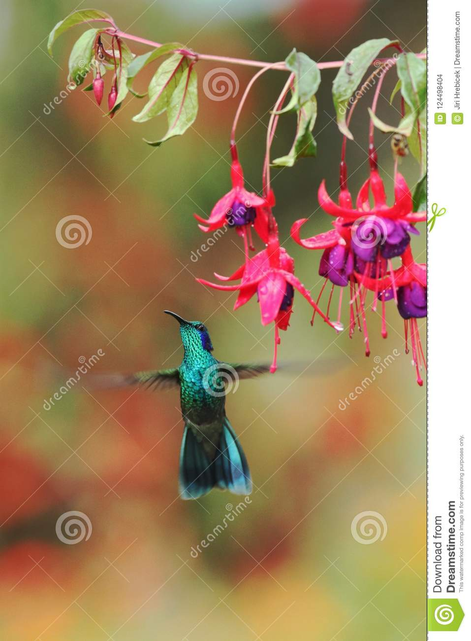 Green violetear, Colibri thalassinus, hovering next to red flower in garden, bird from mountain tropical forest, Costa Ri