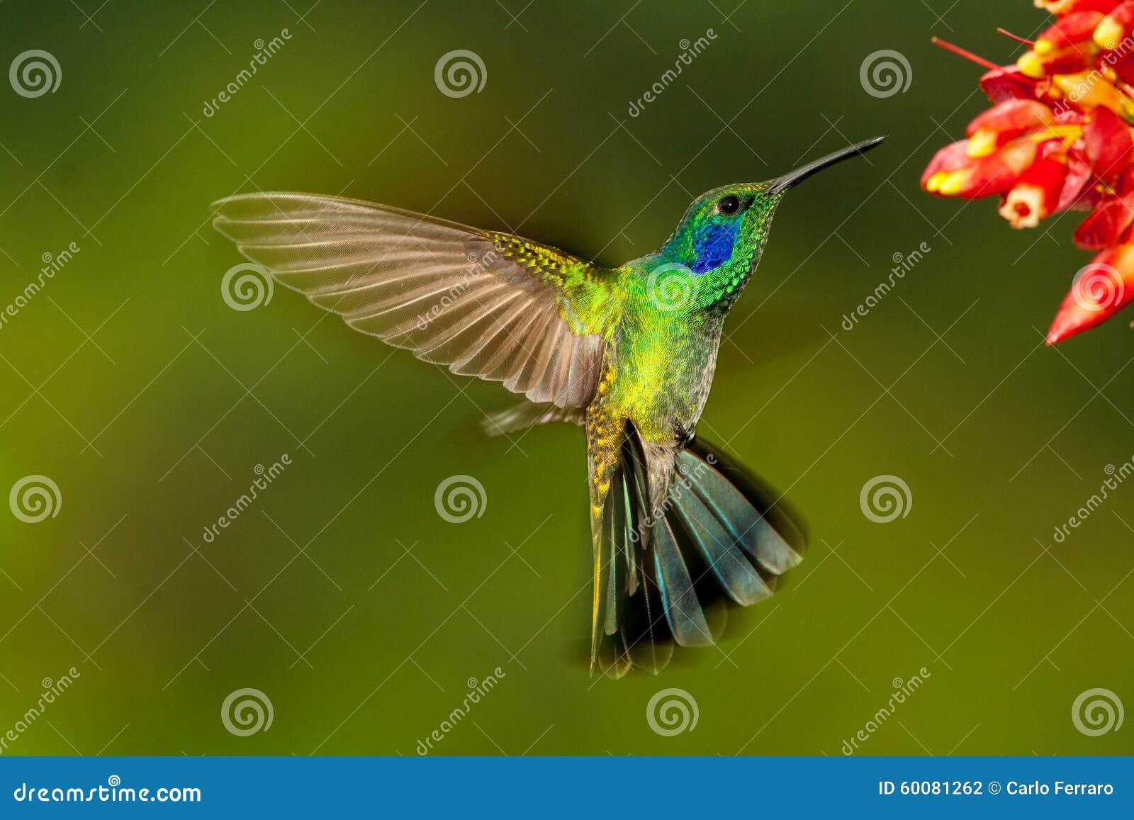 Green Violetear hovering