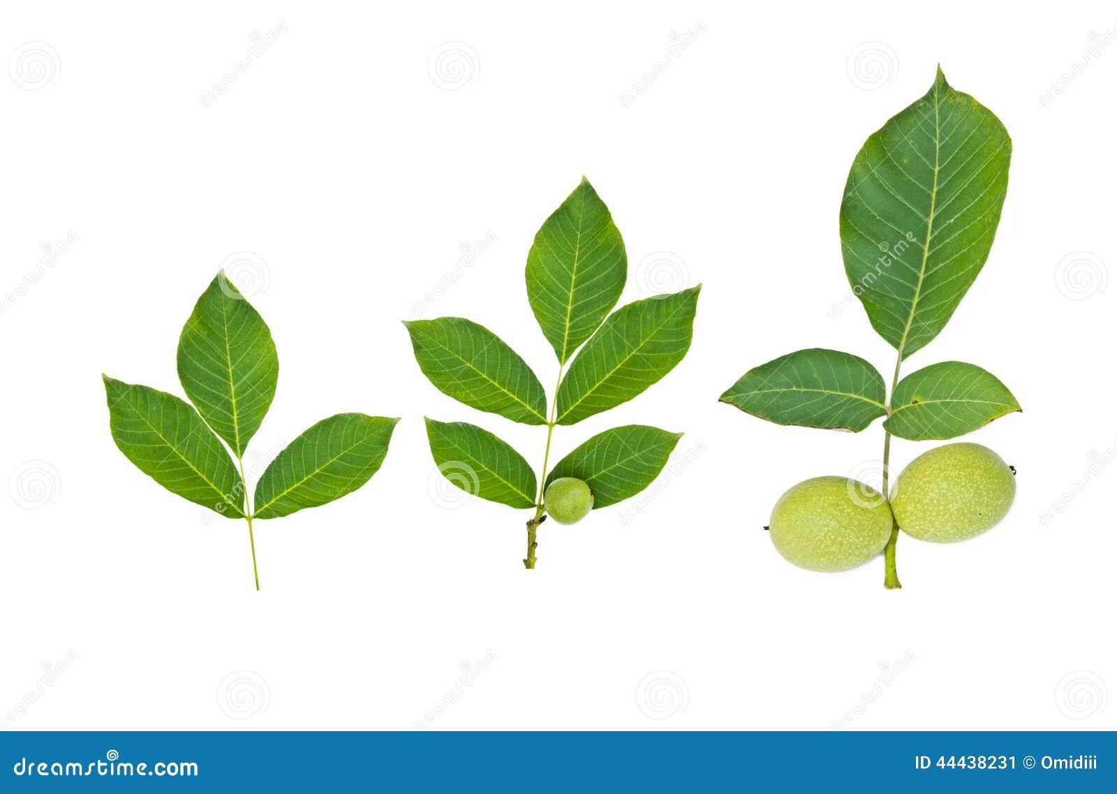 Green walnut fruit with leaf