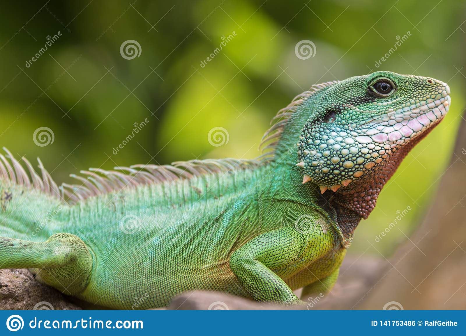 Green water dragon on a branch