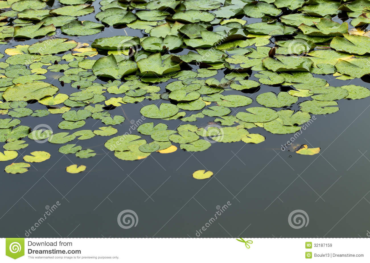 Green water lily pads floating in pond royalty free stock for Green water in pond