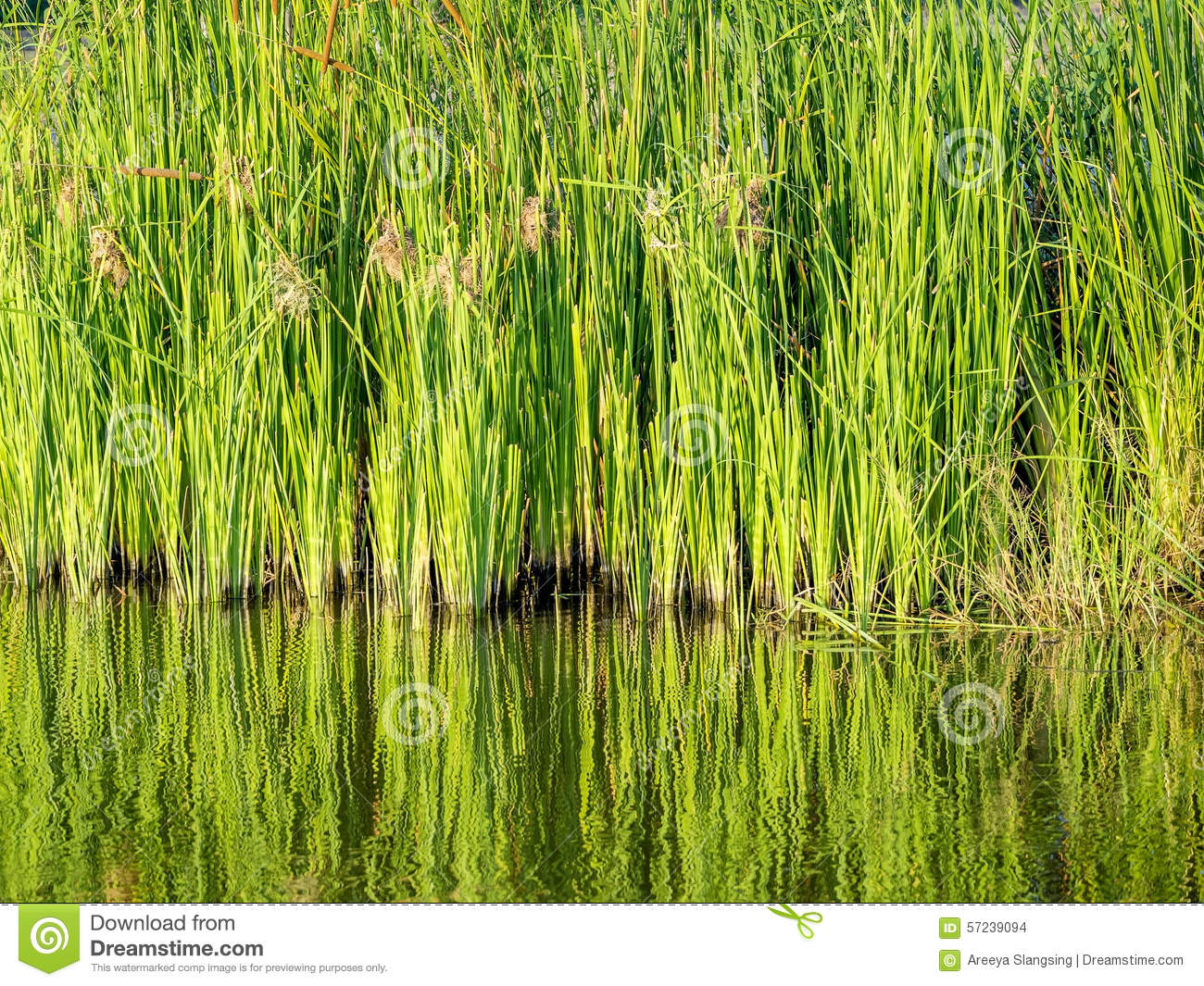 Green water plants in tropical wetland stock photo image for Natural pond plants