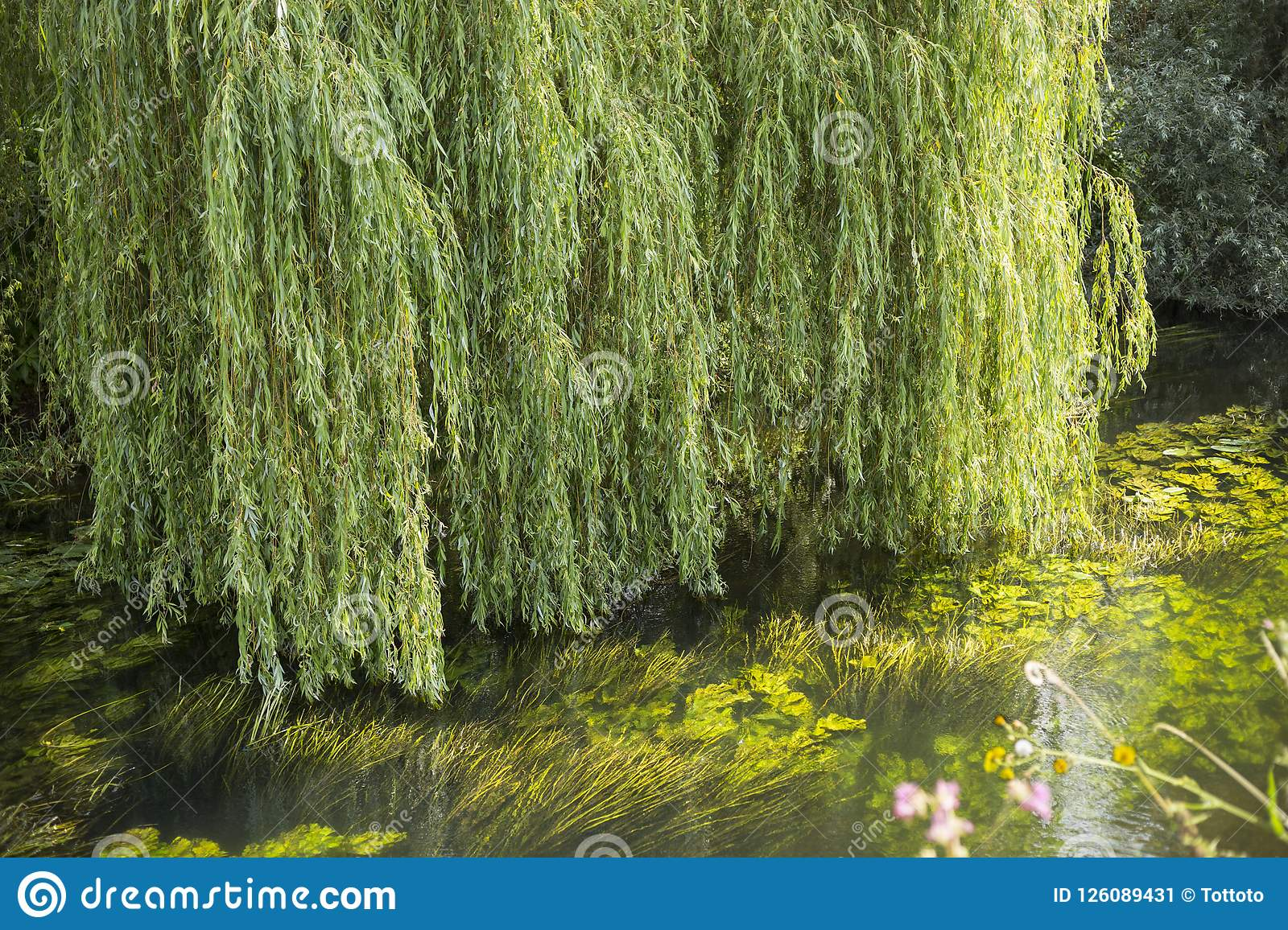 Weeping willow green