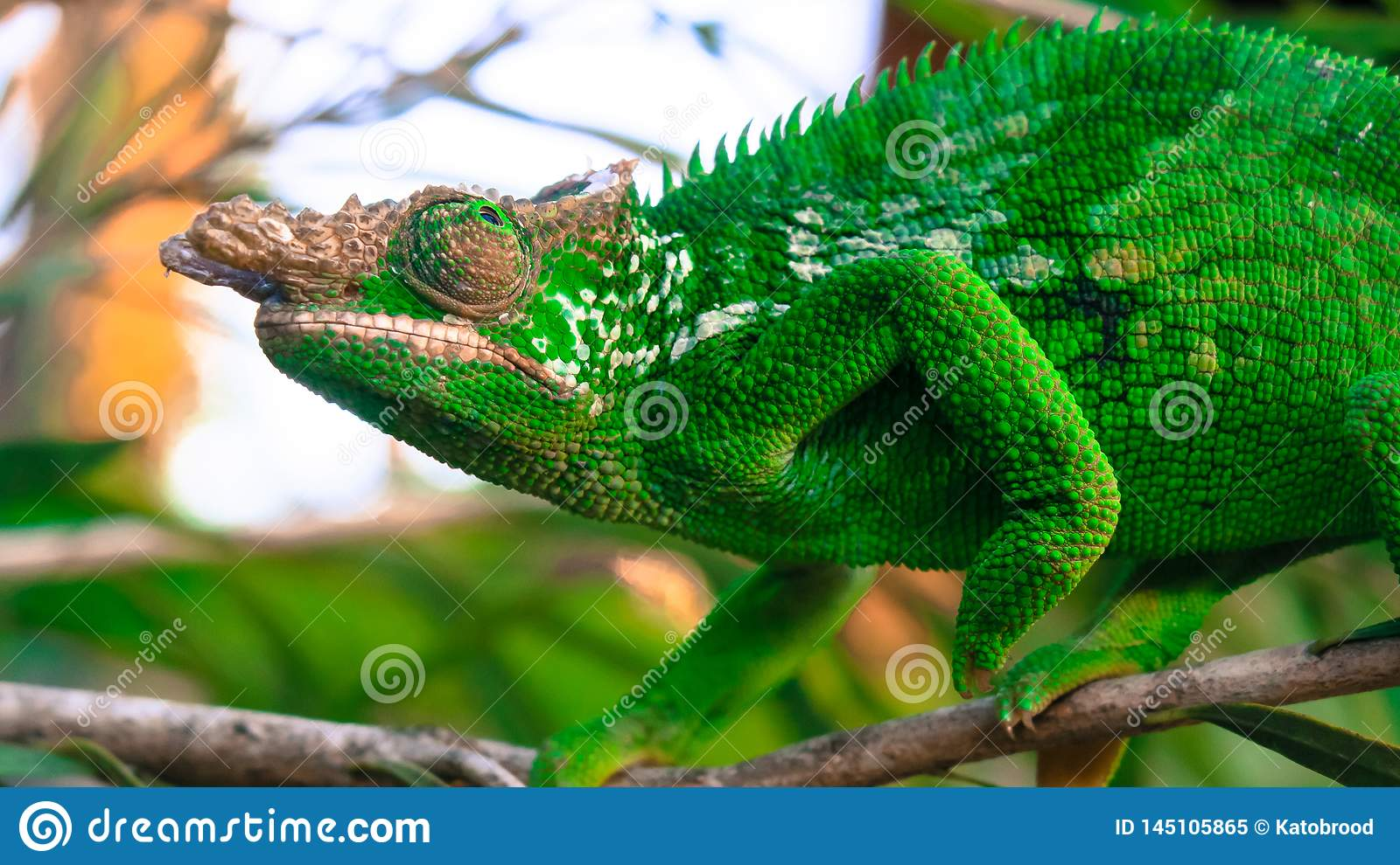 West Usambara two-horned chameleon or West Usambara blade-horned chameleon on stem of branch.