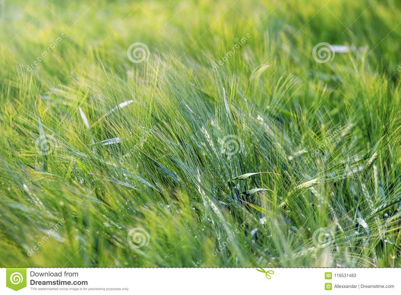 Green Wheat Field Agriculture Background. Stock Image ...