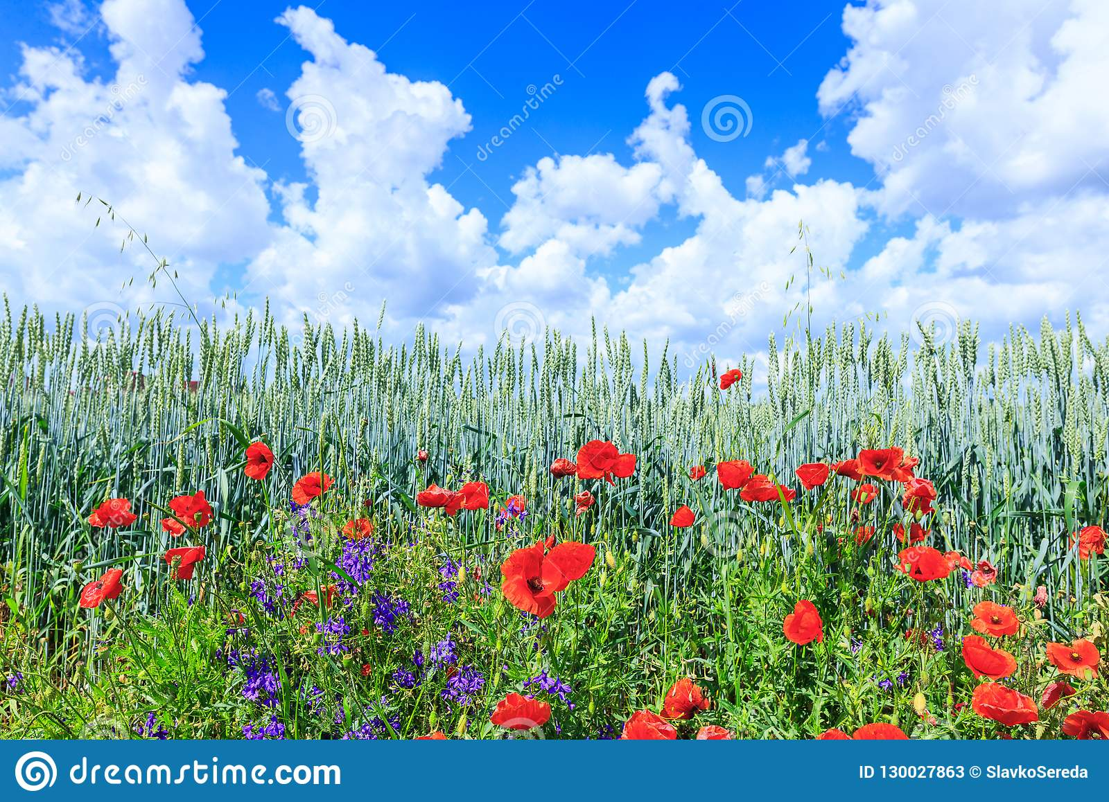 Green wheat in the field. Blue sky with cumulus clouds. Magic summertime landscape. The flowers of the June poppies around