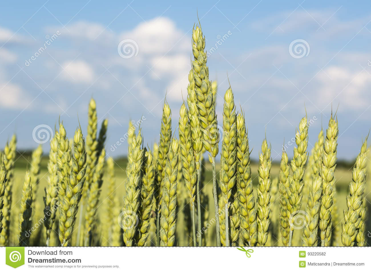 Green Wheat Field Stock Photo. Image Of Leaf, Agriculture