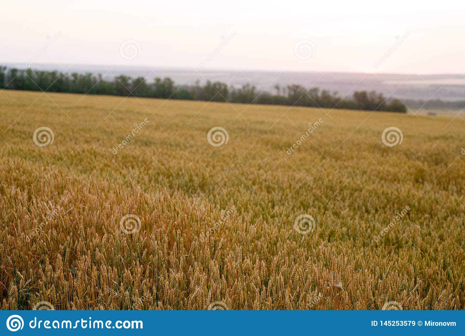Green Wheat Field And Sunny Day Stock Image Image Of