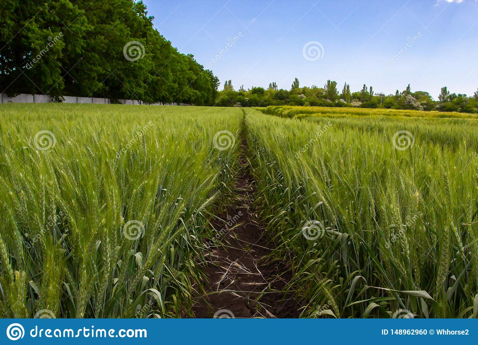 Green wheat field surrounded by forest under blue sky